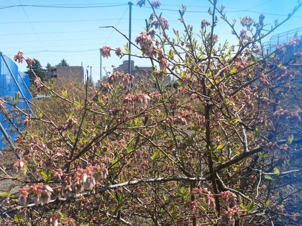 20140412_ブルーベリー花