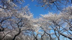 石神井公園の桜